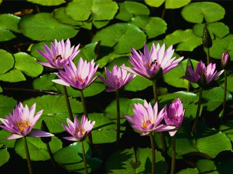 water-lilies1